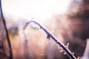 Thorny branch coated in frost